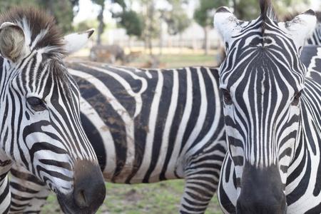 la pianura zebra appartiene al sottogenere Hippotigris Le strisce uniche di zebre loro uno degli animali pi� familiari per le persone a fare Archivio Fotografico