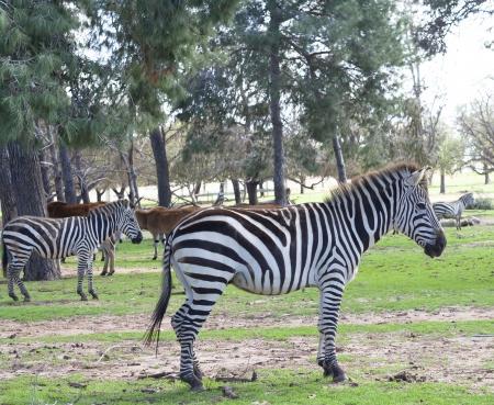 la pianura zebra appartiene al sottogenere Hippotigris Le strisce uniche di zebre loro uno degli animali pi? familiari per le persone a fare Archivio Fotografico