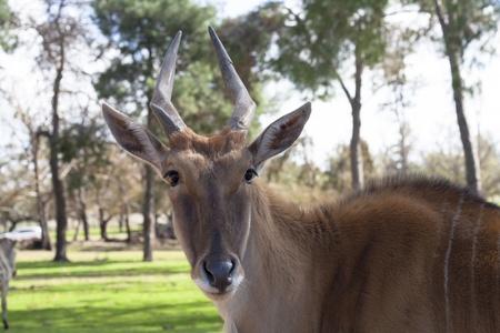 Il comune Eland Taurotragus Oryx, noto anche come l'antilope sud o eland antilope, � una savana e pianure antilope trovato in Africa orientale e meridionale