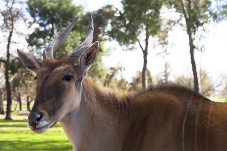 Il comune Eland Taurotragus Oryx, noto anche come l'antilope sud o eland antilope, ? una savana e pianure antilope trovato in Africa orientale e meridionale