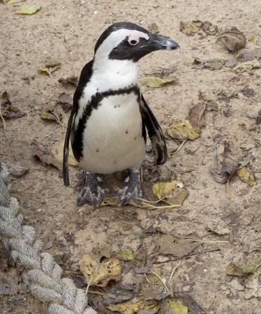 Il pinguino africano Spheniscus demersus, noto anche come il Black-footed Penguin � una specie di pinguino, confinato acque del sud africana E 'anche noto come il Pinguino