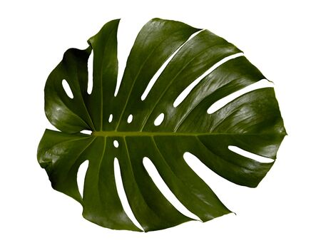 Palm-tree leaf texture isolated silhouette with clipping path on white background