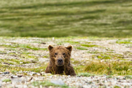 A brown bear looking at the camera in the Katmai peninsula, Alaska