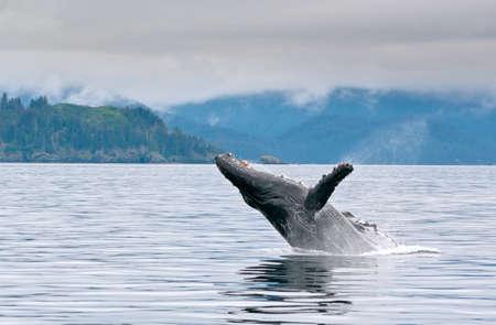 A whale breaching in the alaskan ocean with water splash 写真素材