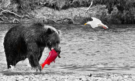 A voracious giant brown bear with a salmon in its mouth and a seagull flying in a river in the Katmai peninsula. Wildlife in the Alaskan territory during summer. Black and White Stock Photo