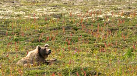 A thoughtful big brown bear resting alone in a green field in the Katmai peninsula, Alaska, in daylight. Low angle shot