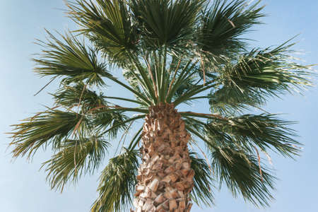 Old tall palm tree in the blue sky. Natural background.