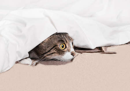 Curious funny cat looks out from under the blanket. Cozy home background