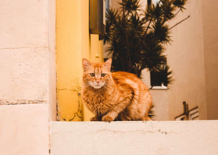 Red serious street cat sits on the background of a yellow orange wall