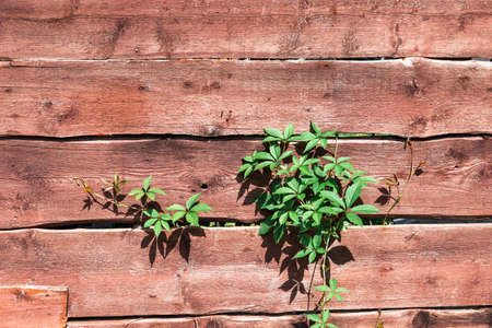 wooden natural background from boards with ivy between the cracks