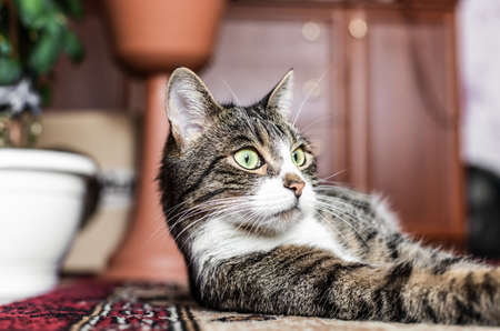 A cat with green eyes, a tabby lies on a rug, relaxes