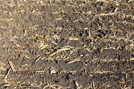 Dry remains of the corn after harvest
