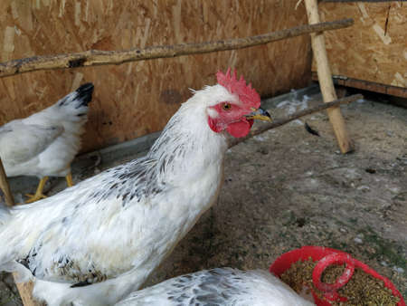 Young rooster in a hen house Stock Photo