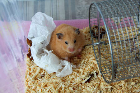 Hamster in the cage on sawdust with a napkin