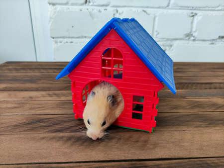 Syrian orange hamster in his own house Stockfoto