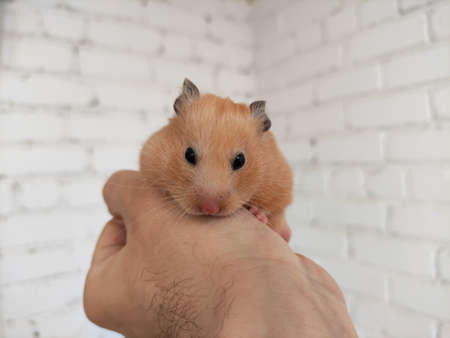 Cute syrian hamster in the owner hands