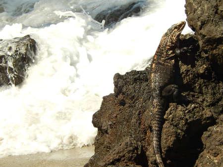 america centrale: Iguana sulla formazione puntello di ferro in spiaggia al america centrale Archivio Fotografico