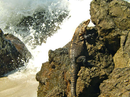 Iguana on iron shore formation at beach at central america photo