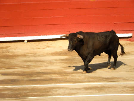 bull inside the arena. Spanish bull in the bullfighting. Power and danger concept photo