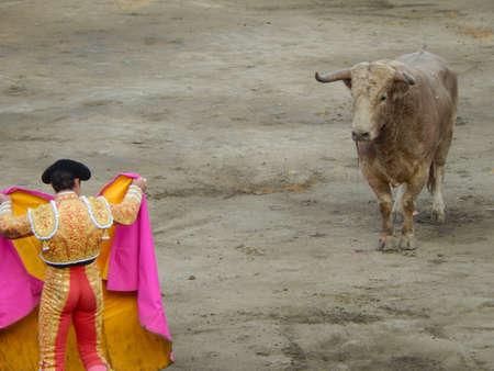 capote: The bull stares at the torero during a bullfight. brave matador
