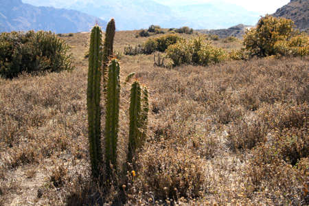 carnegiea: cactus in a desert mountain colorful landscape