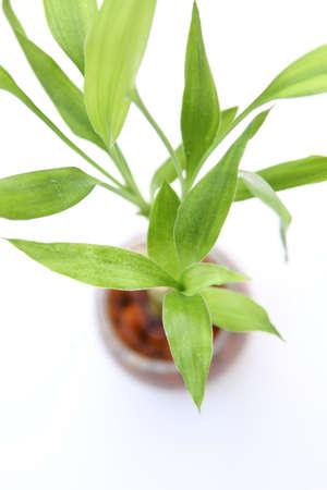 lucky bamboo: Lucky bamboo plant (Dracaena sanderiana) against white background