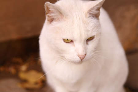 brigth: Cute white cat with brigth yellow eyes and fluffy ears Stock Photo