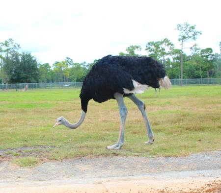 an ostrich: african ostrich