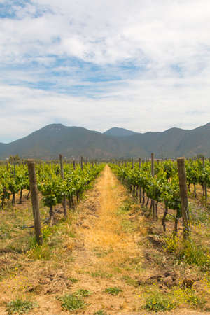 Organic vineyards with mountains on the background Imagens