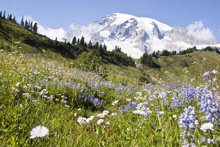 colorful wildflowers in national park mount Rainier photo