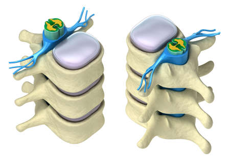 columna vertebral: Columna vertebral humana en detalles: v�rtebra, m�dula �sea, disco y nervios