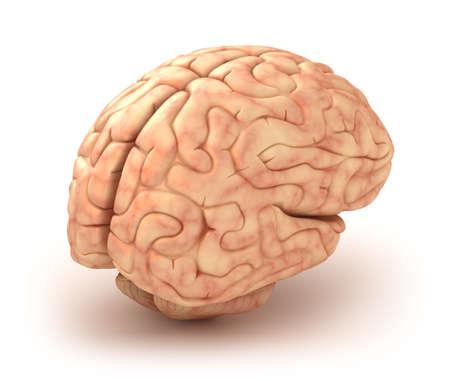cerebro humano: El cerebro humano modelo 3D, aislado Foto de archivo
