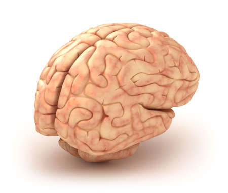 anatomy brain: Human brain 3D model, isolated Stock Photo