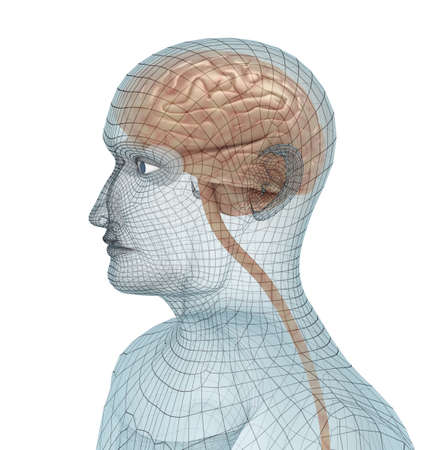 pons: Human brain and body wire model Stock Photo
