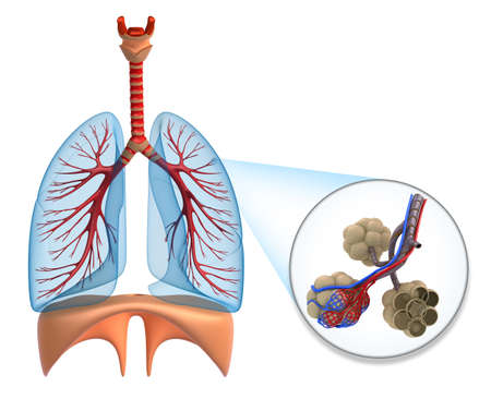 lung bronchus: Alveoli in lungs - blood saturating by oxygen