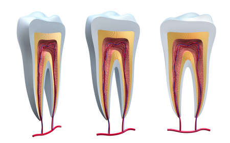 dentin: Anatomy of healthy teeth in details. Isolated 3D image Stock Photo