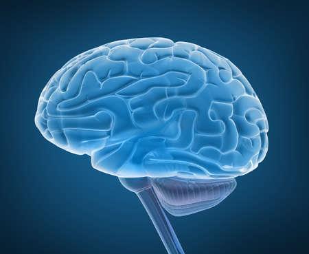 medula espinal: El cerebro humano y la médula espinal, en vista de rayos X
