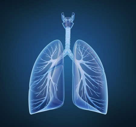 polmone: Bronchi e polmoni umani a vista a raggi x Archivio Fotografico