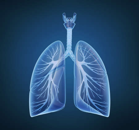 Los pulmones humanos y los bronquios en vista de rayos X