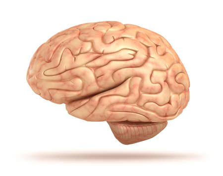 Human brain 3D model, isolated photo