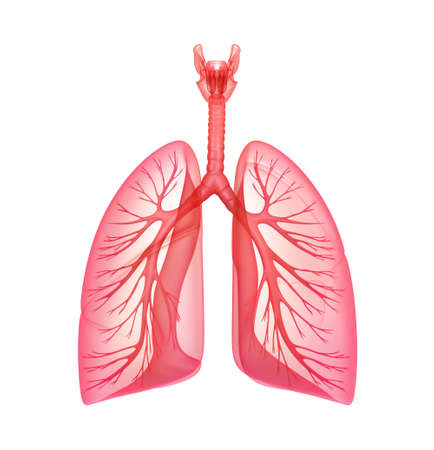 transparent system: Lungs - pulmonary system  Front view, isolated on white