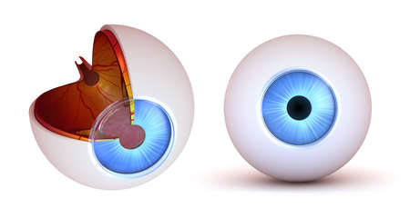 eye cross section: Eye anatomy - inner structure and front view, isolated
