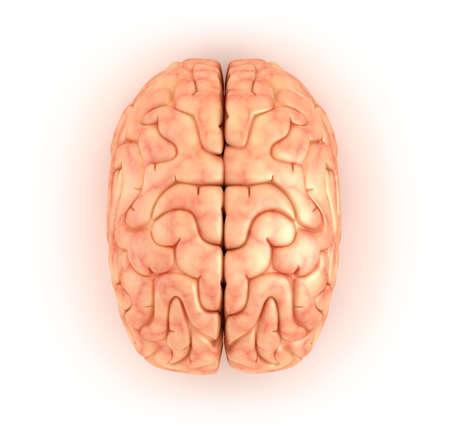 mind body soul: Human brain , top view Stock Photo