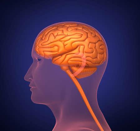 amygdala: Human brain. Cross section. On dark background
