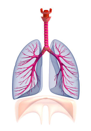 circulate: Transtarent human lungs anatomy  Isolated on white Stock Photo
