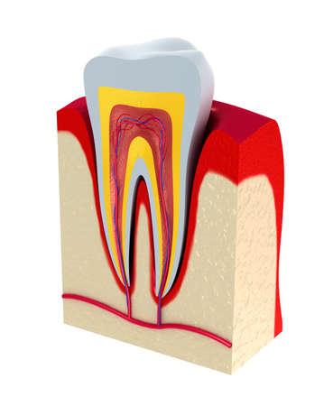 vasos sanguineos: La secci�n de la pulpa del diente con los nervios y los vasos sangu�neos