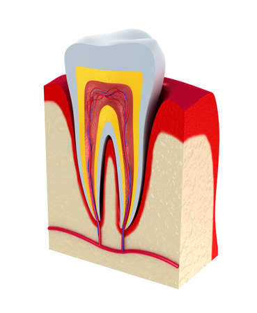 dentin: Section of the tooth  pulp with nerves and blood vessels