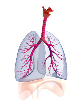 Transtarent human lungs anatomy  photo