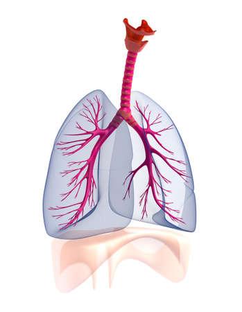 respiratory infection: Transtarent human lungs anatomy