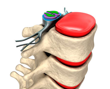 spinal disks: Spinal column with nerves and discs  Stock Photo